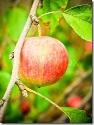 1911809-572497-red-mature-apple-on-a-branch