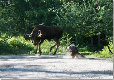 moose dog fight